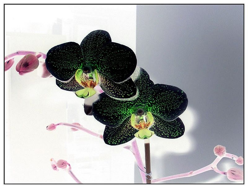 Orchidee invertiert...
