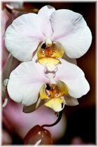 Orchidee klassisch