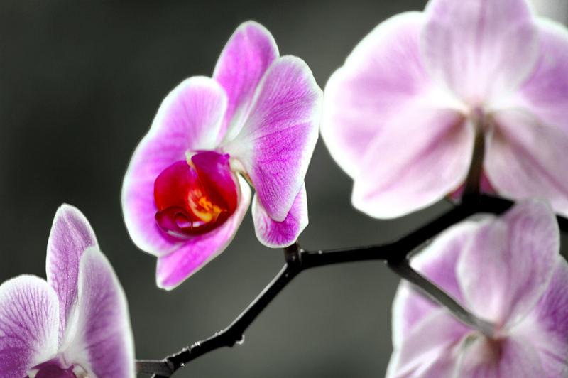 Orchidée [La Deuxième]