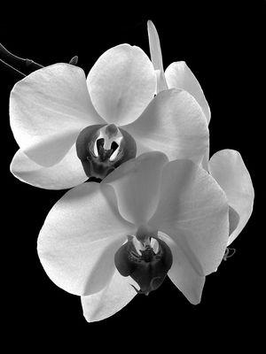 Orchidee mal SW