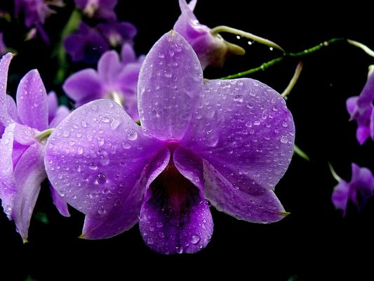 Orchidée mauve .