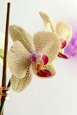 Orchidee meiner Frau - Highkey