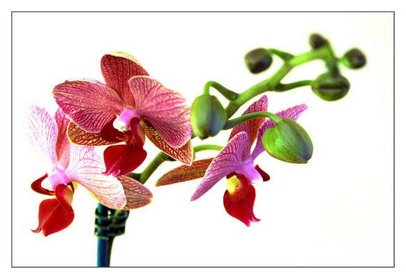 Orchidee mit EBV