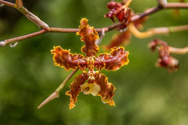 Orchidee mit Gesicht...