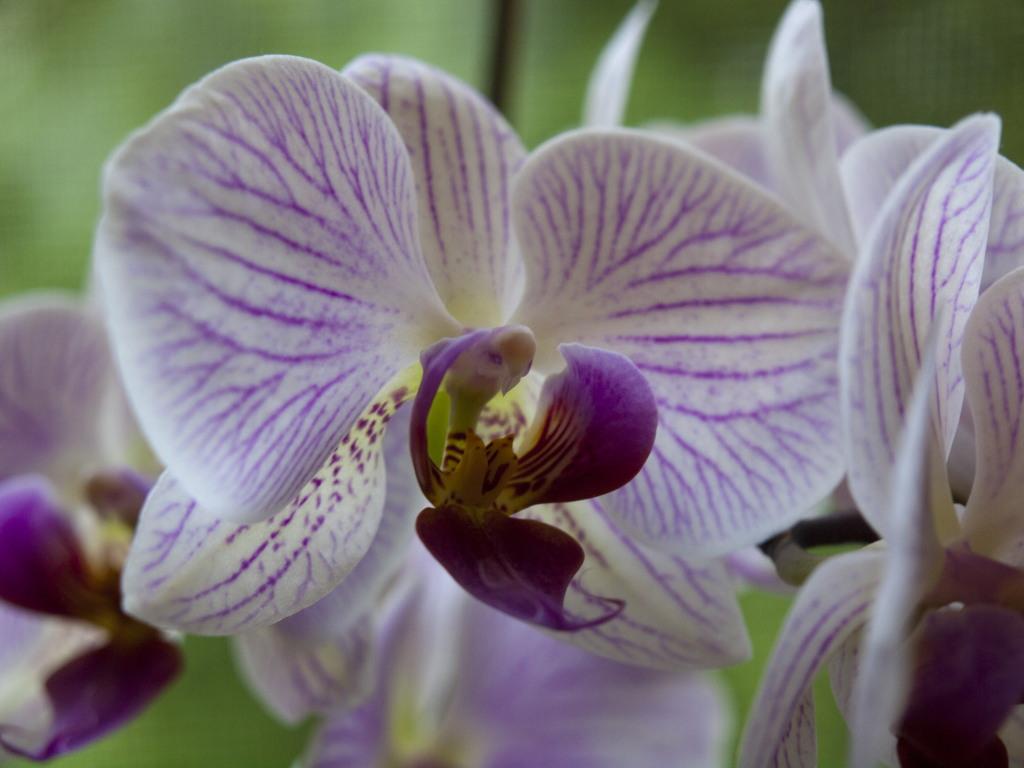Orchidee - mit viel Fantasie kann man einen Vogel sehen