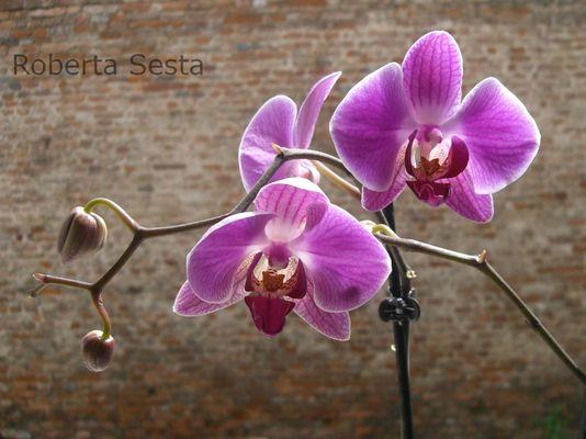 Orchidee nel centro storico