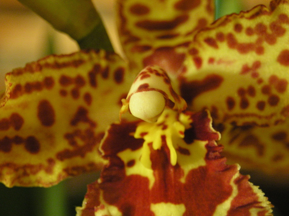 Orchidee Odontocidium hansueli isler