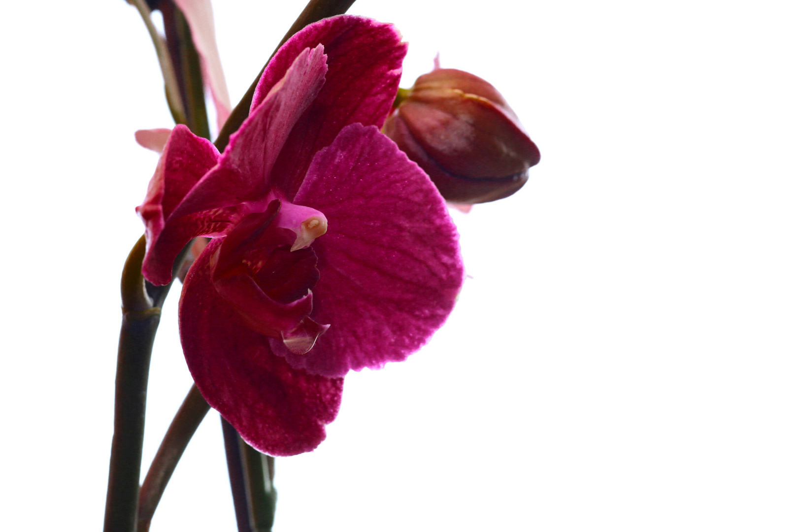 Orchidee original