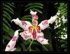 orchidée panachée