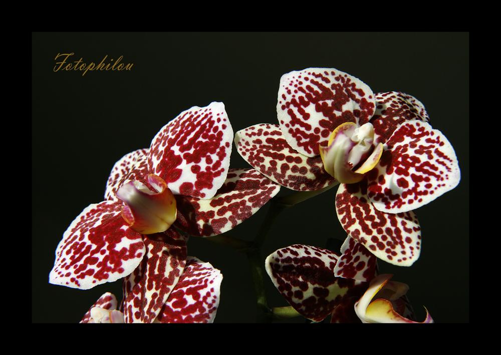 Orchidée (Phalaenopsis)