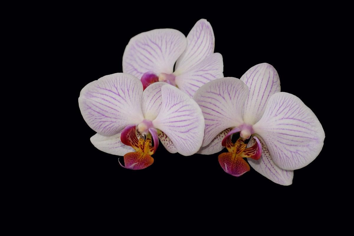 Orchidee (Phalaenopsis) mit rosa Blüten.