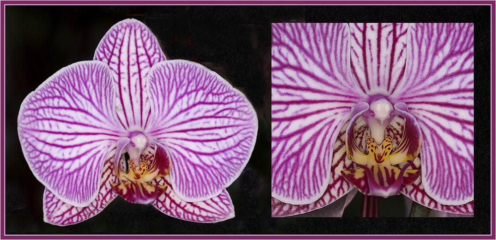 Orchidee (Phalaenospis)
