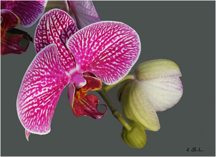 Orchidee (Phanaelopsis)