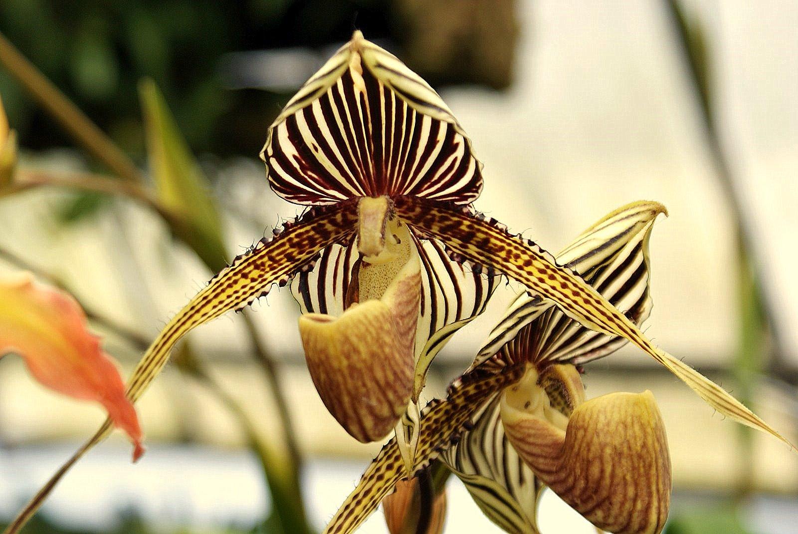 ORCHIDEE SABOT DE VENUS