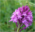 orchidee sauvage 1