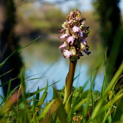 Orchidée Sauvage