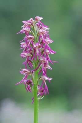 Orchidée sauvage. Hybride : Orchis simia x Orchis antropophora