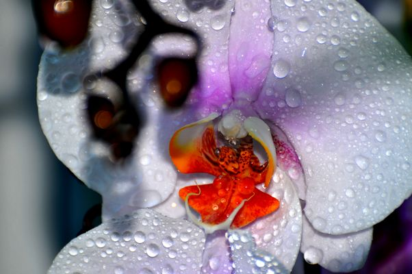 orchidée sous la pluie