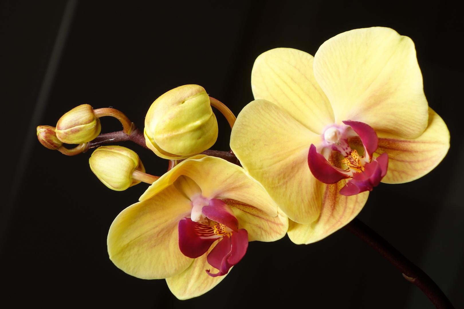 Orchidee strahlt im Dunkel