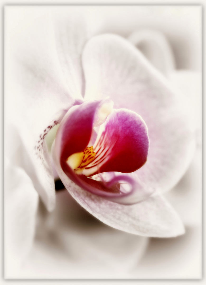 ~Orchidee VIII~