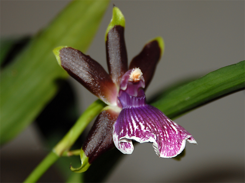Orchidee violet