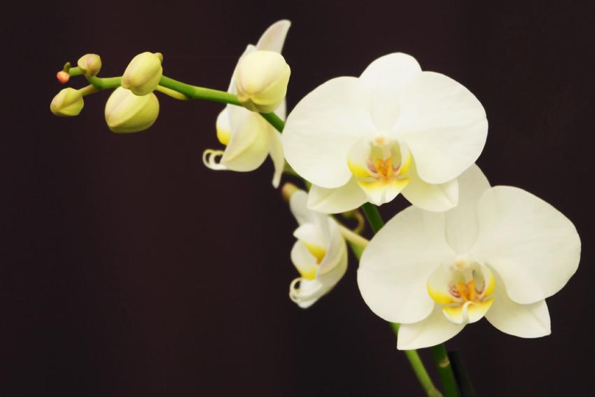 orchidee wei foto bild pflanzen pilze flechten bl ten kleinpflanzen orchideen. Black Bedroom Furniture Sets. Home Design Ideas