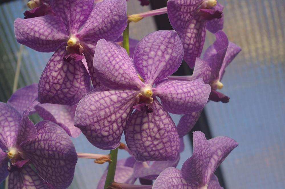 Orchidee Wilhelma