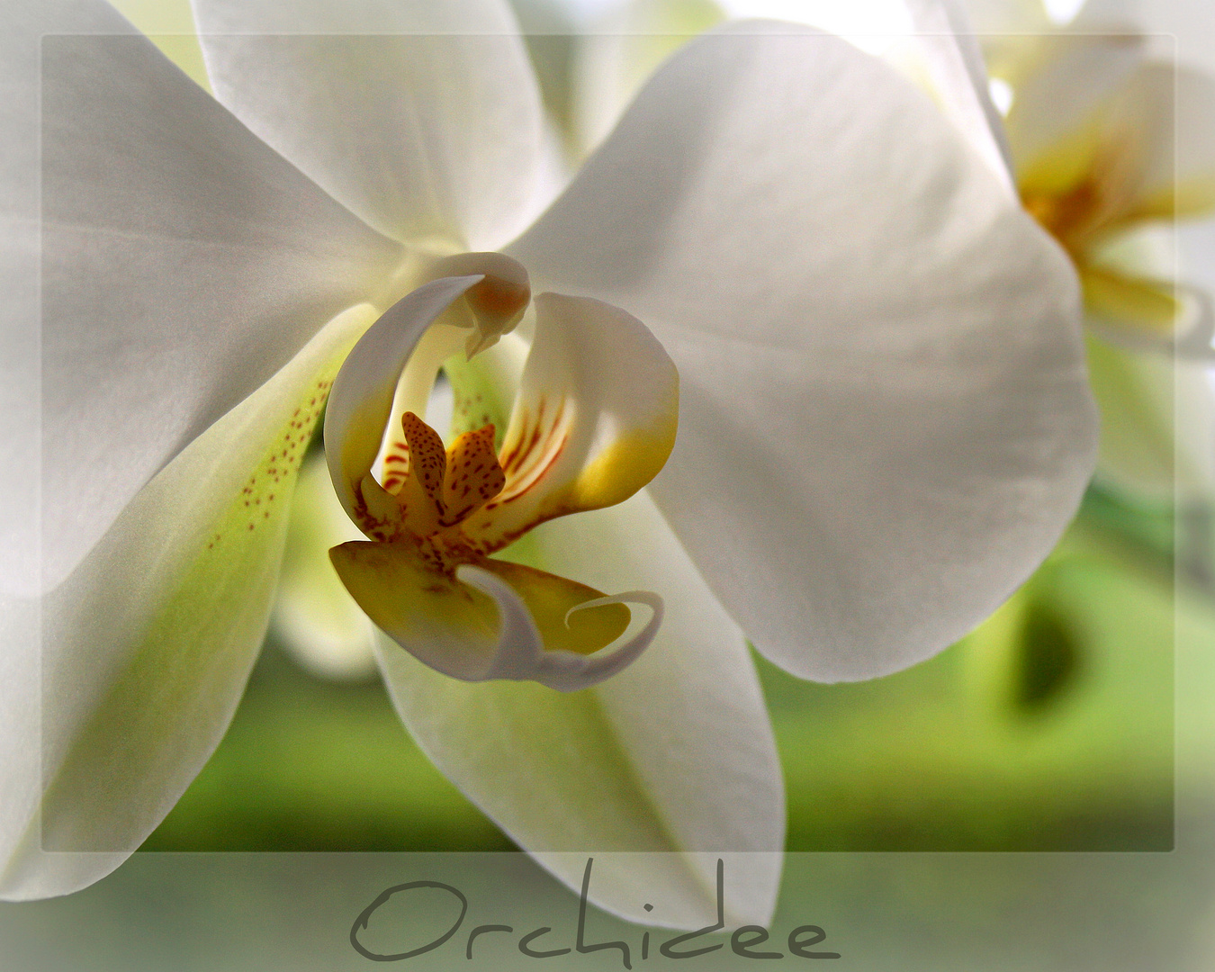 ~Orchidee XVII~