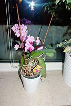 Orchidee zu Hause