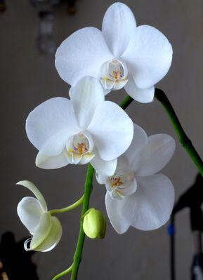Orchidee_01