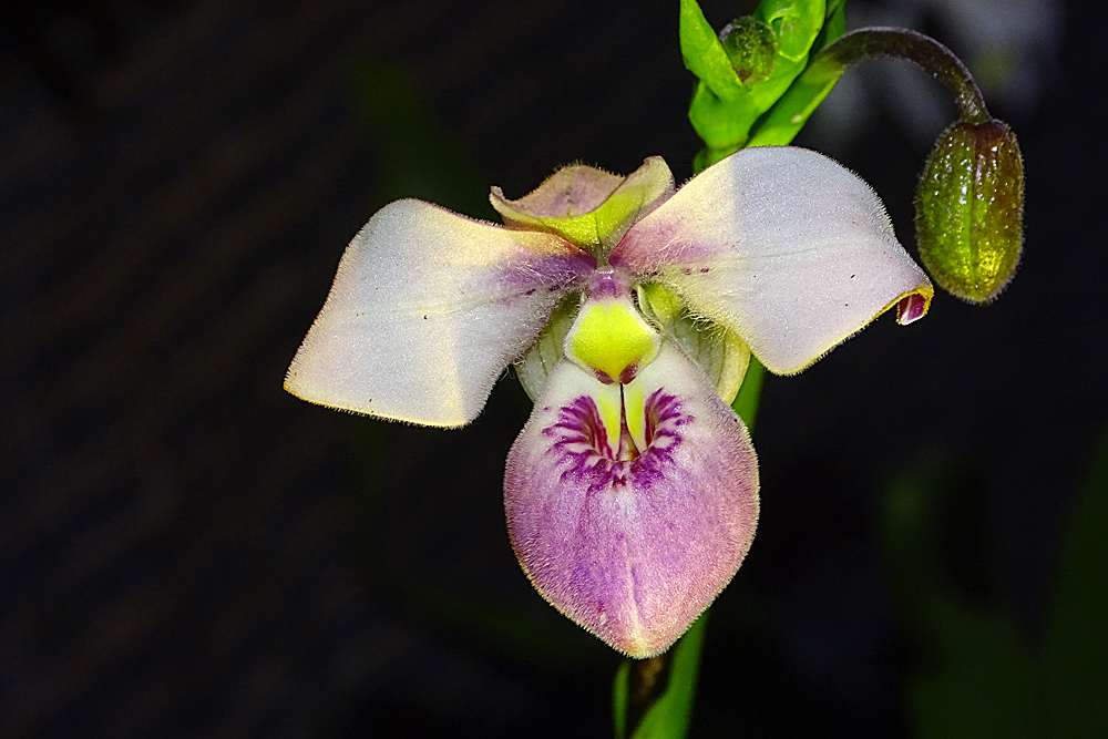 Orchidee1