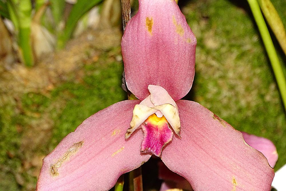 Orchidee13