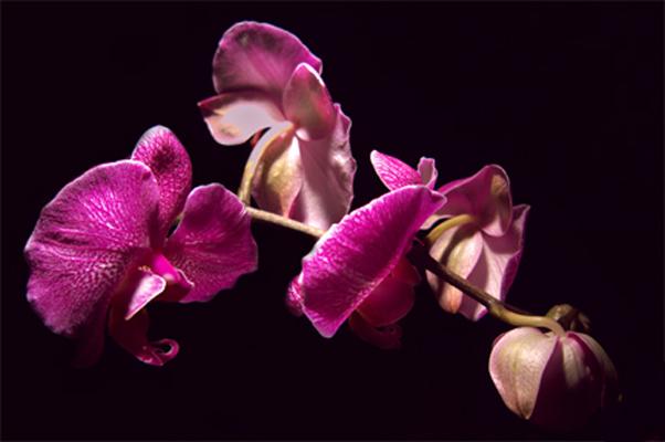 orchidee4