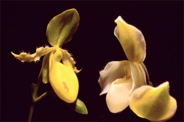 orchidee5