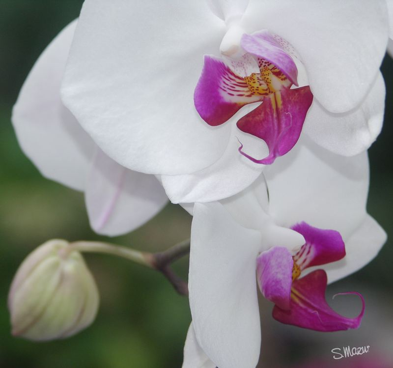 Orchideeen II