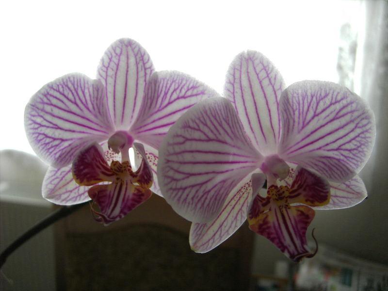 Orchideen # 2 #