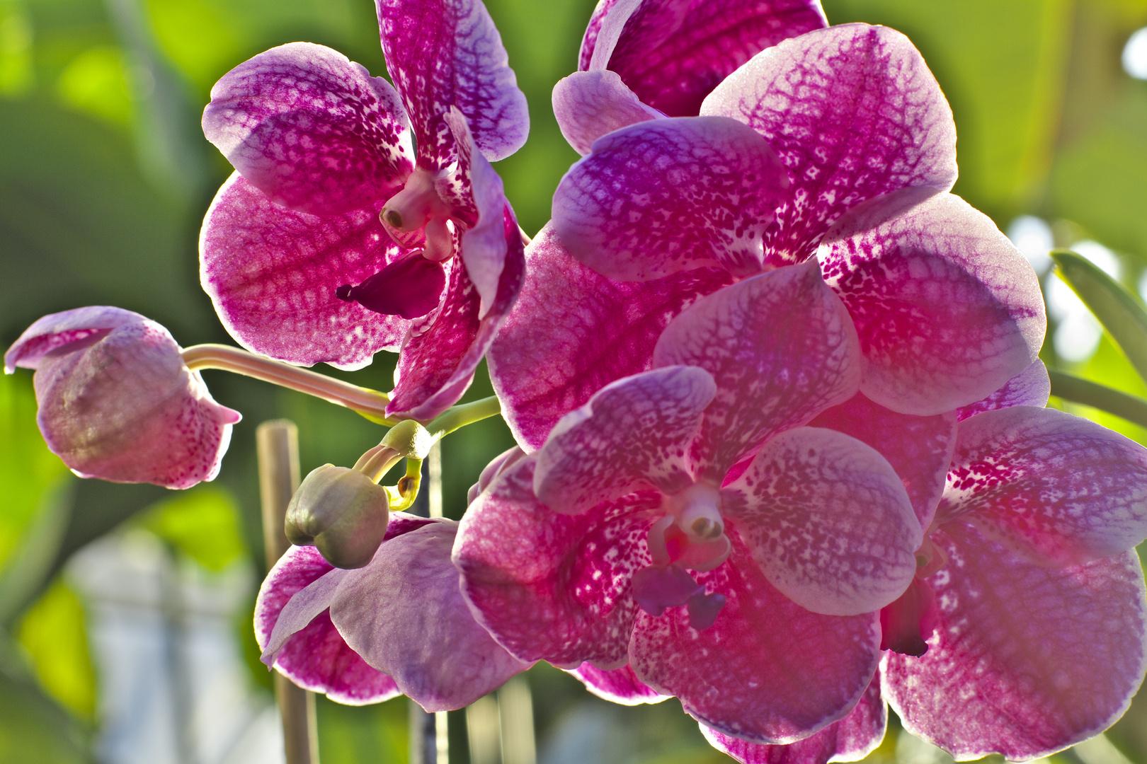 Orchideen 7