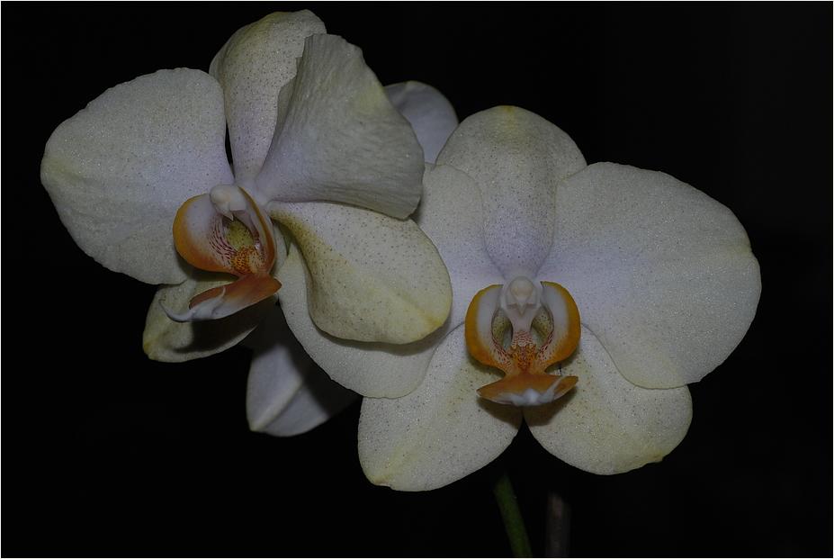 ~Orchideen~