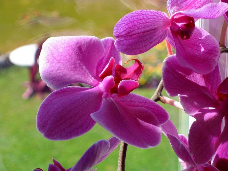 Orchideen am Fenster