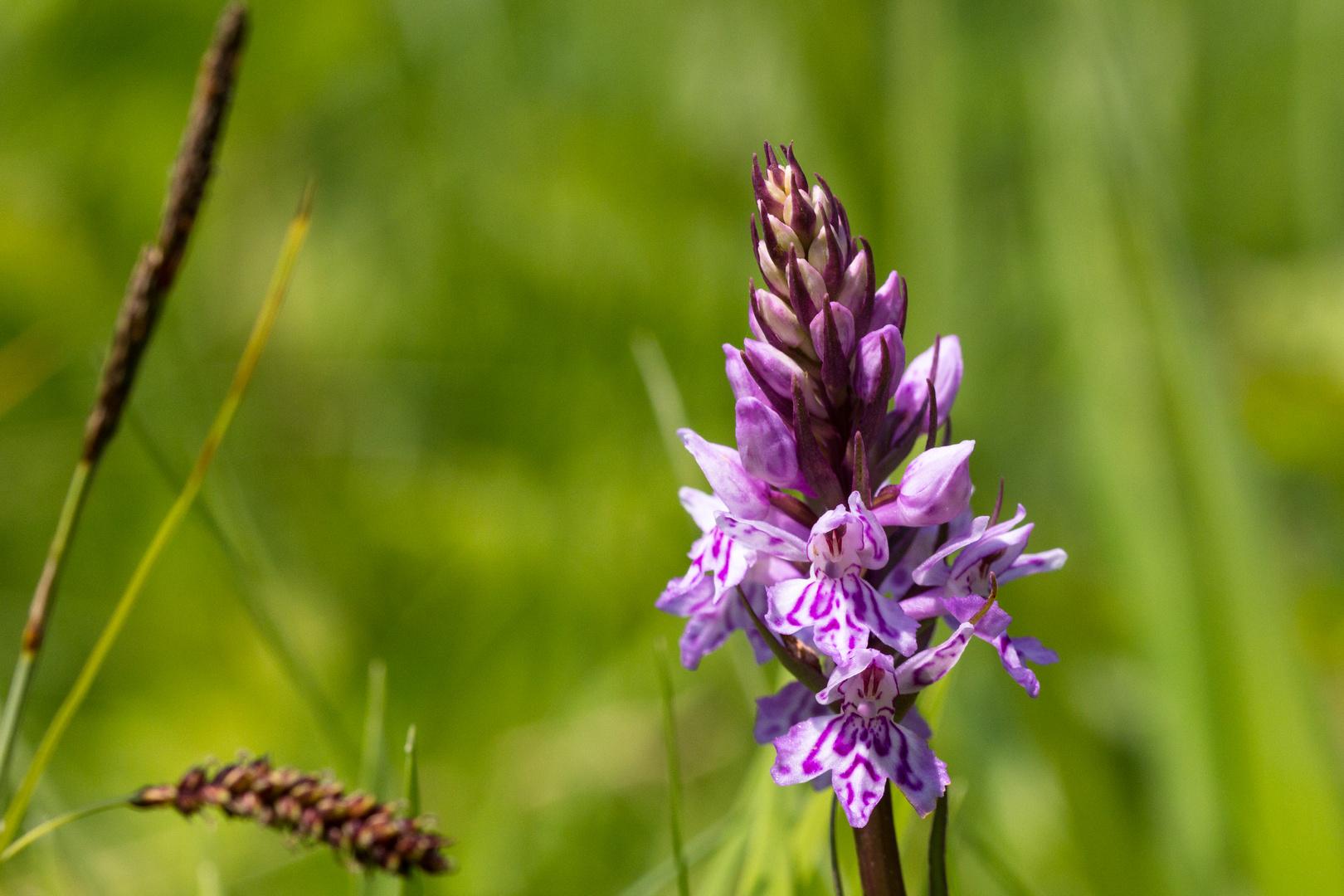 Orchideen am Mackenberg 2