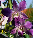 Orchideen auf der Fenserbank