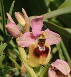 Orchideen auf Sizilien (8)