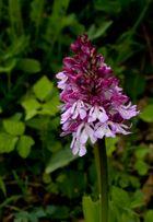 Orchideen blühen auf dem Mackenberg