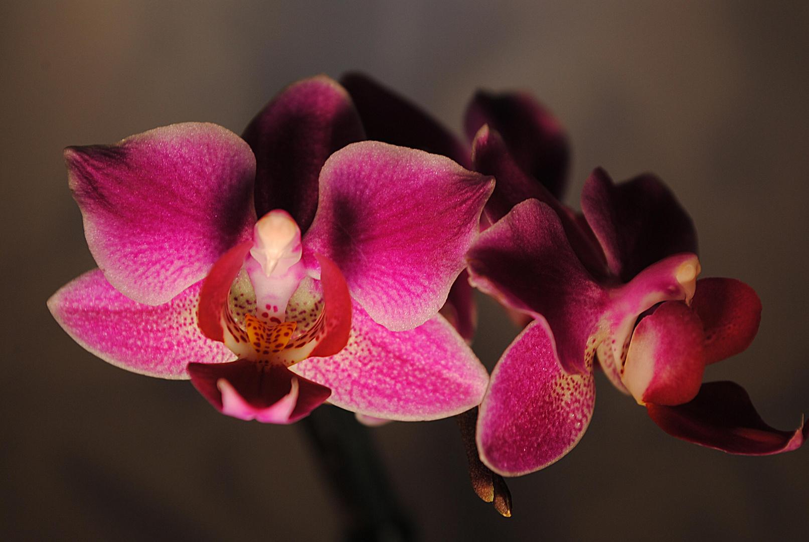 Orchideen-Blüte