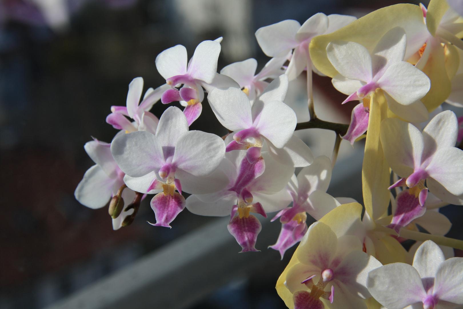 Orchideen haben die Sonne vermisst