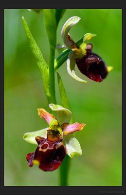 Orchideen-Hybride