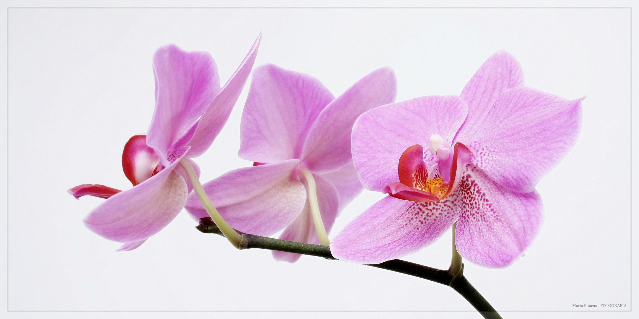 -Orchideen III-