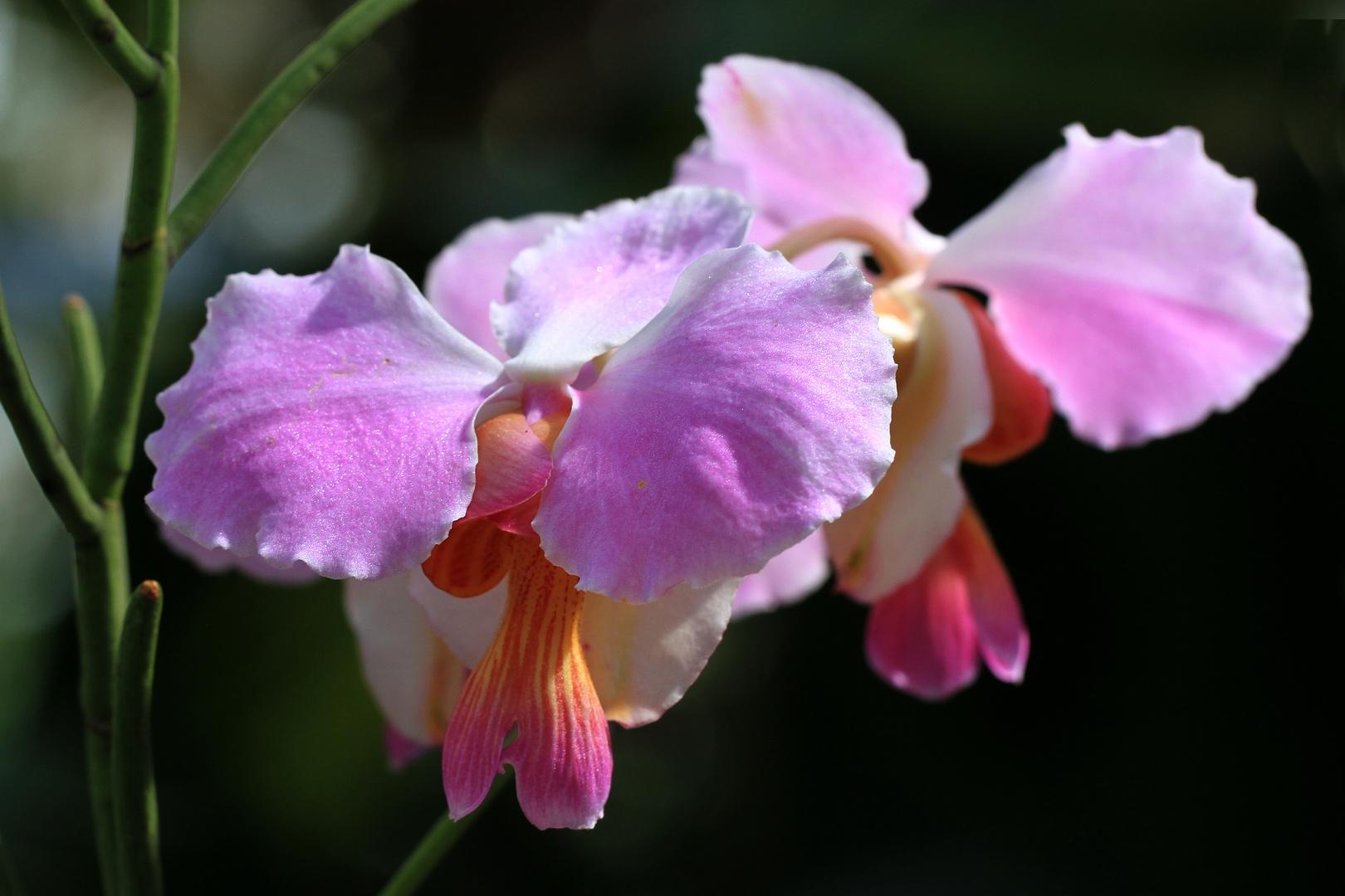 Orchideen im Wintergarten