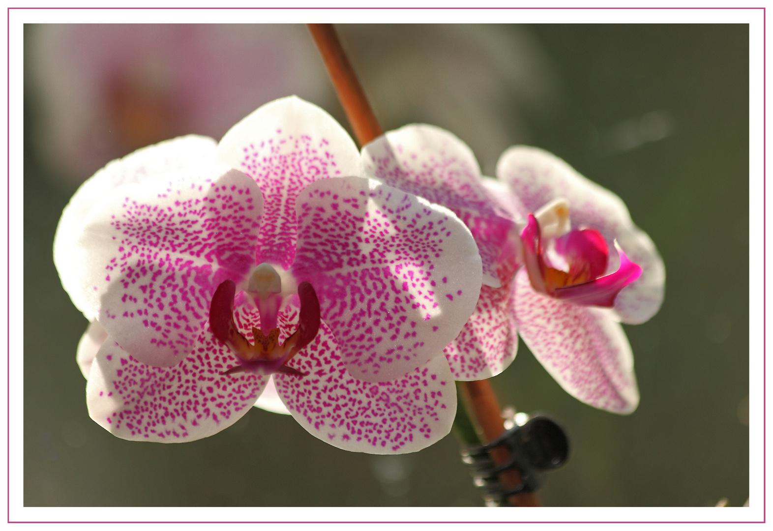 Orchideen - immer wieder schön ...