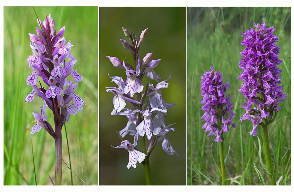 Orchideen in Finnland